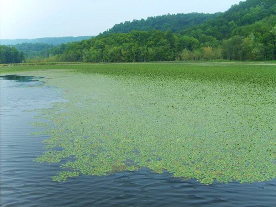 Water chestnut infestation