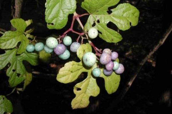 Porcelainberry: fruits are small berries that range from yellow to purple to blue in color.