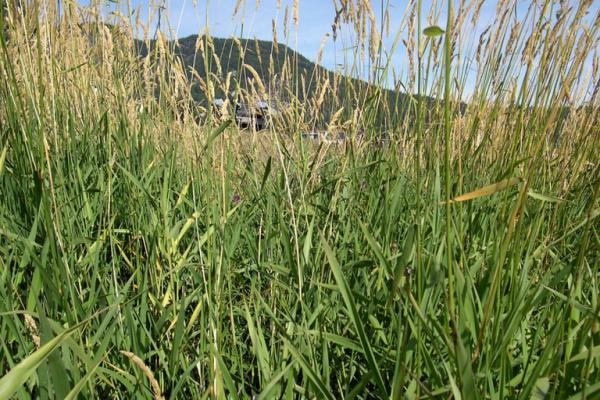 Reed canary grass: infestation.