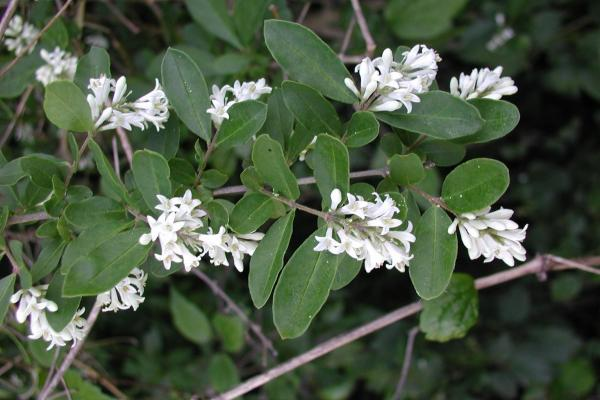 Privet has oppositely arranged, simple leaves, and small, white flowers