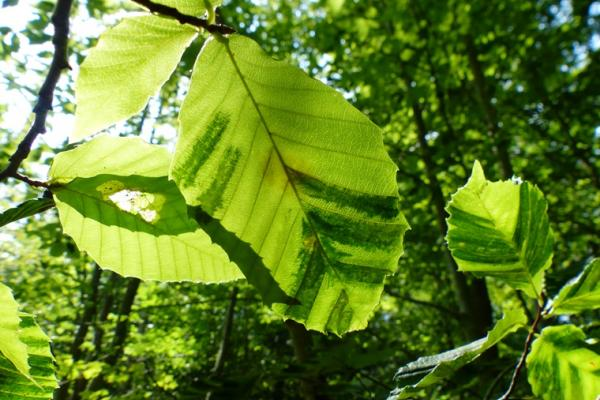 Beech Leaf Disease: dark striping pattern appears on the leaves, parallel to the leaf veins.