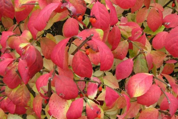 Burning bush has oppositely arranged leaves, that are elliptic or oval in shape, with a finely toothed edge, that turn red/purple in the fall