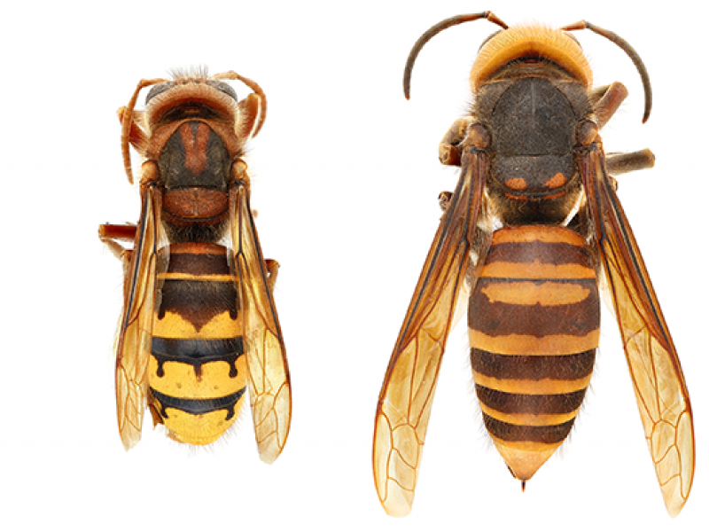 European Hornet vs. Asian Giant Hornet