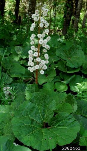 Butterbur sweet-coltsfoot has large heart-shaped leaves and seeds are attached to plumes of fine white bristles