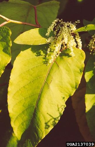 Giant knotweed flower