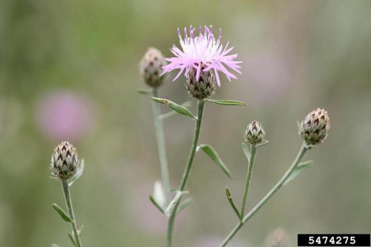 Spotted knapweed: characteristic black-tipped bracts.