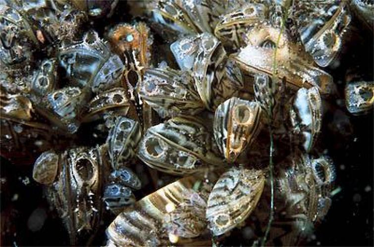 Open zebra mussels filter-feeding underwater