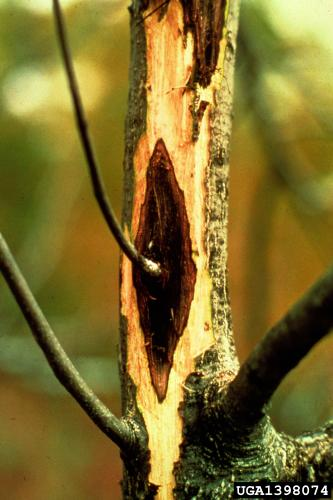 Butternut canker: stained wood beneath bark.