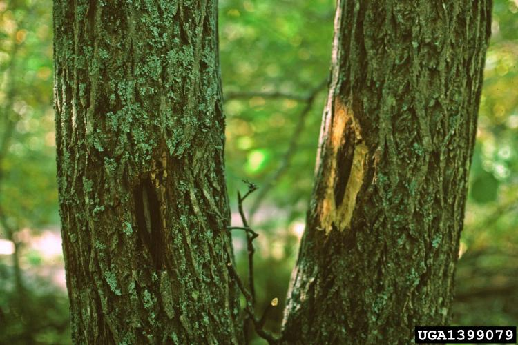 Butternut canker: spores of the fungus enter the tree and create cankers that are elongated, sunken, often with an inky black center and whitish margin.