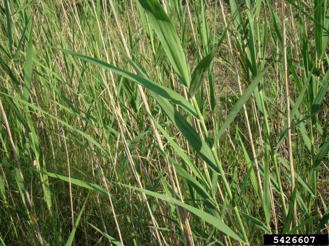 Common reed: leaves are 6-23.6 in. long, 0.4-2.4 in. wide, flat and glabrous.