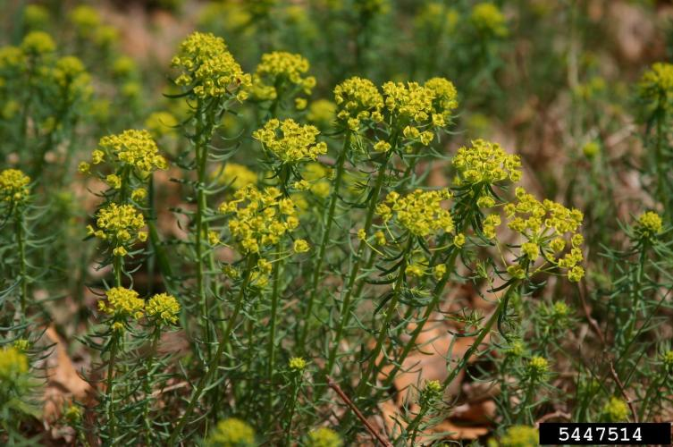 Cypress spurge: yellow-green, inconspicuous flowers are in a cyme at the top of the plant. Flowers mature to red.