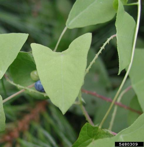 Mile-a-minute vine: alternate leaves are triangular, light green.