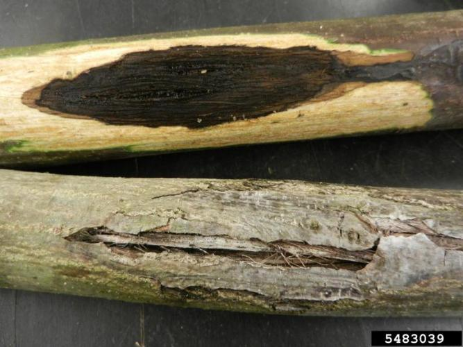 Butternut canker: stained wood and scarring of outer bark.