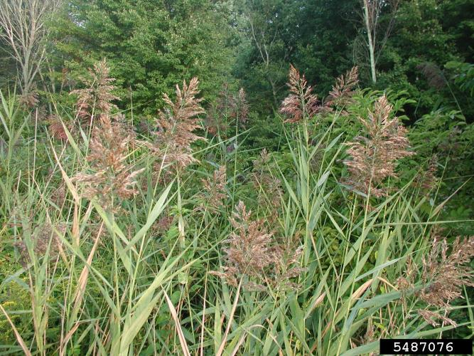 Common reed: flower heads are dense, fluffy, gray or purple in color.
