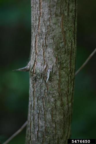 Black locust bark and thorns