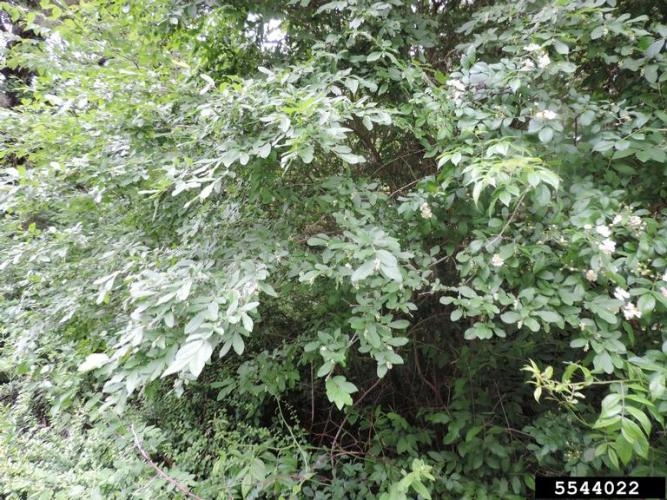 Tall shrub, with multiple stems, leafy branches