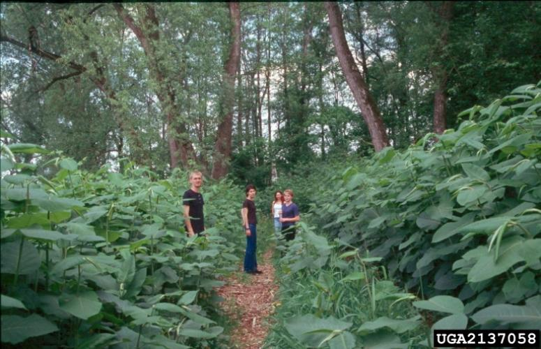 Giant knotweed can grow to over 12 feet tall