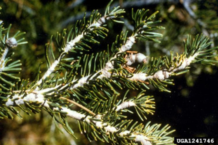 Balsam woolly adelgid: protective woolly coating of wax.