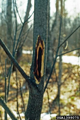 Butternut canker: outer bark becomes loose, revealing oval shapes of stained wood.