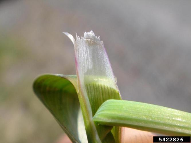 Reed canary grass: ligule is transparent (where blade and sheath come together).