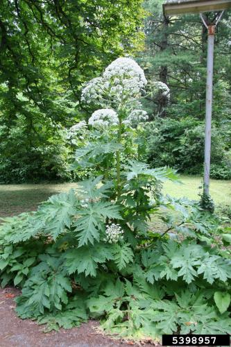 Giant hogweed: can reach 15-20 feet tall.