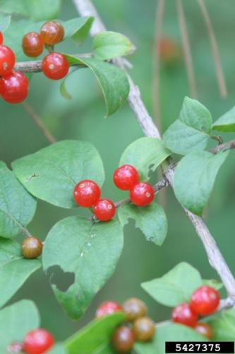 Twinned berries, that are generally red to yellow in color