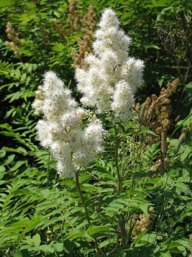 False spiraea: small white flowers born on 4 to 10-inch panicle.