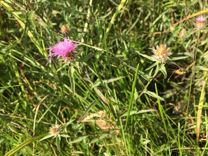 Spotted knapweed going to seed