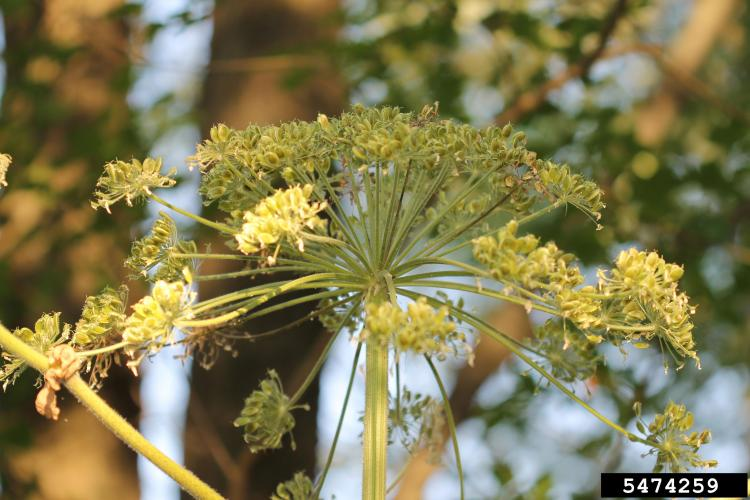 Giant hogweed: white flowers are on a large umbrella-shaped head at that can be up to 2.5 ft. in diameter.