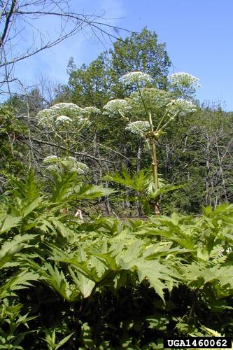 Giant hogweed: can reach 15-20 feet tall. Hollow stems are 2-4 inches in diameter with dark reddish-purple spots and bristles.