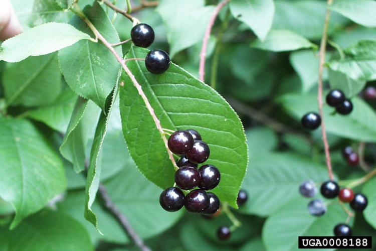 Look-alike: common chokecherry (Prunus virginiana) has droopy clusters of flowers and fruit, and leaf veins do not run parallel towards the tip like in common buckthorn