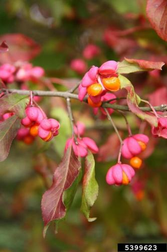 Invasive Spindle-tree is also a Euonymus, with a pink capsule and orange/red fruit inside