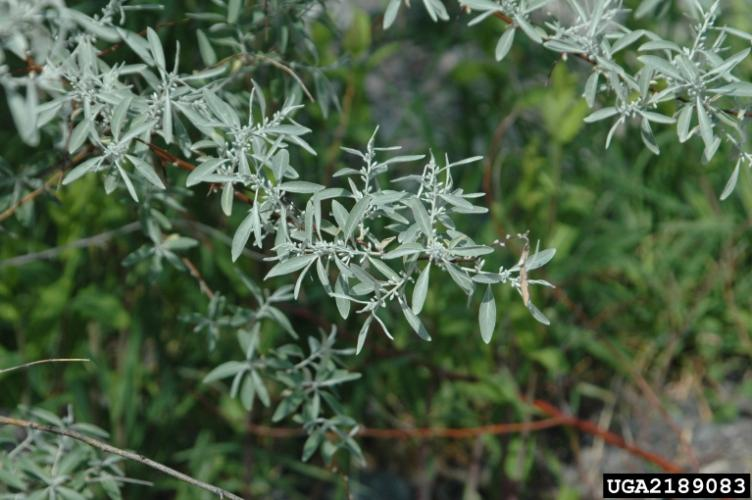 Look-alike: Russian olive has silvery scales covering both sides of its leaves.