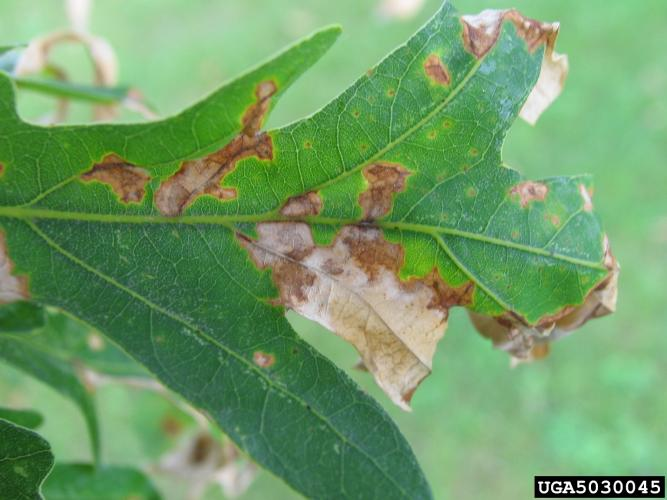 Look-alike: anthracnose is a common fungal disease of shade trees that results in leaf spots, cupping or curling of leaves and early leaf drop.