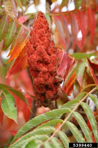 Look-alike: staghorn sumac (Rhus hirta), flowers are greenish and the fruits are bright red.