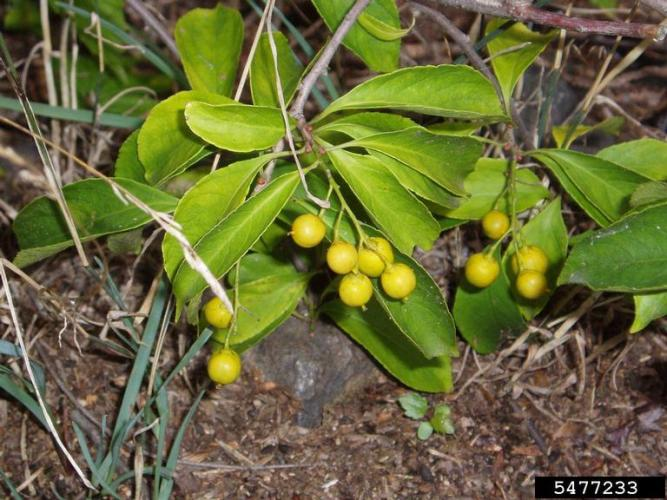 American bittersweet with terminal fruits