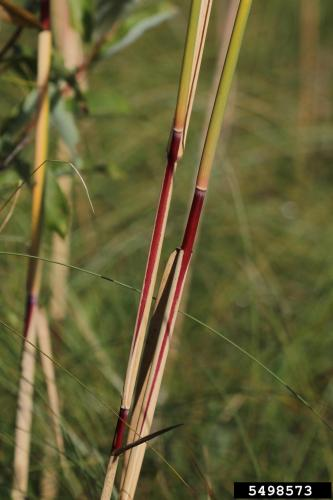 Look-alike: American reed, (Phragmites americanus) middle and upper stem internodes are smooth, shiny and red-brown to dark red-brown during the growing season.