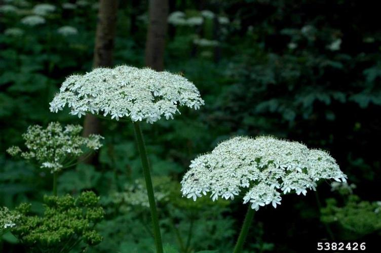 Look-alike: American cow parsnip (native to North America) is large, but has flat-topped flower clusters