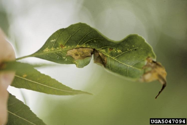 Look-alike: ash anthracnose.