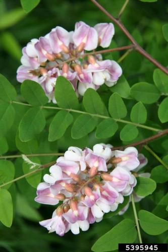 Look-alike: bristly locust (Robinia hispida), looks similar to false indigo when they are young