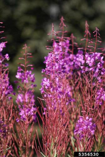 narrow-leaved fireweed