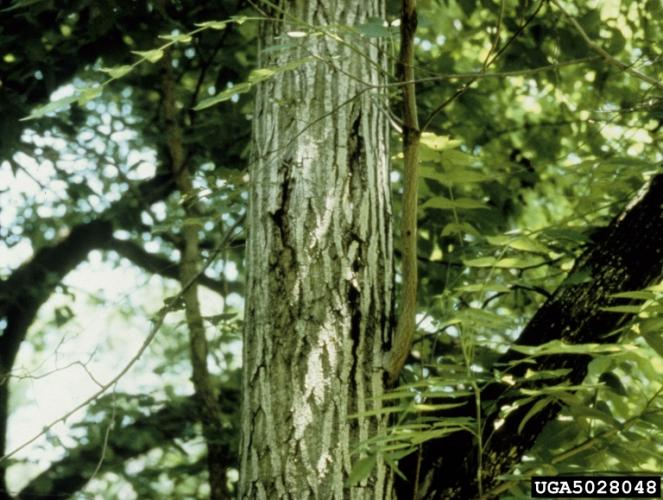 Butternut canker: cankers often ooze sap from beneath the bark.