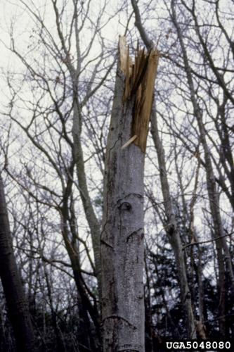 "Beech bark disease: infected trees are extremely vulnerable to other environmental factors including drought, diseases, and insects. Many infected trees succumb to ""beech snap"", where compromised trees are snapped by high winds."
