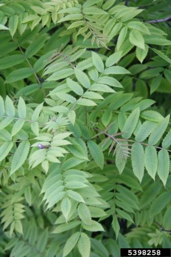 False Spiraea Leaves