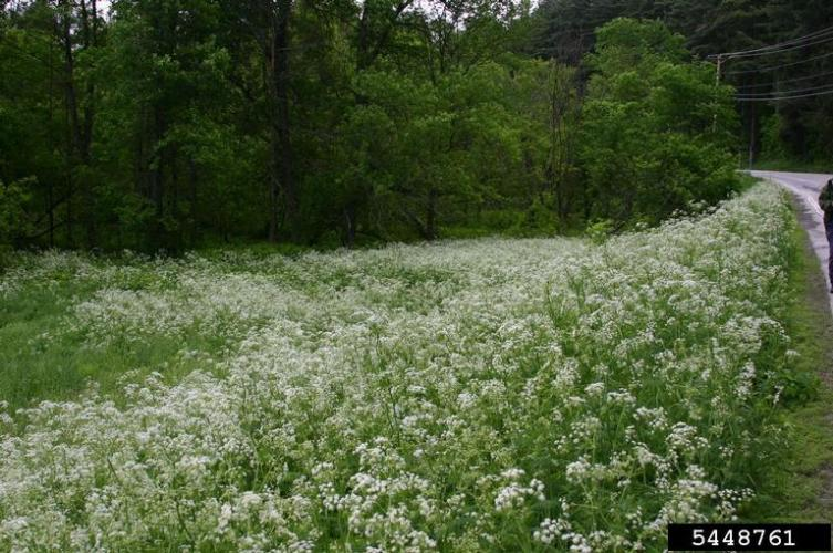 Wild Chervil Infestation