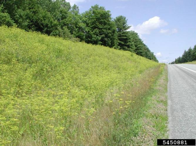 Wild Parsnip Infestation