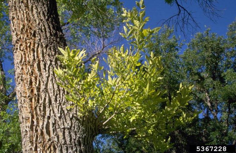 Ash yellows: witches' brooms, clusters of upright spindly shoots of leaves on lower trunk.