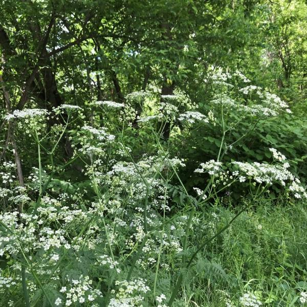 The flowers of Wild Chervil form in clusters called an umbel, almost resembling an umbrella.
