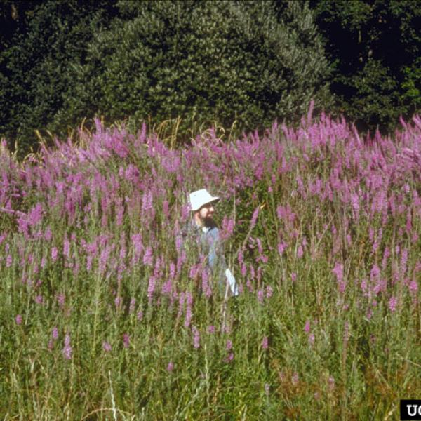 Photo: Eric Coombs, Oregon Department of Agriculture, Bugwood.org Purple loosestrife can reach heights of several meters.