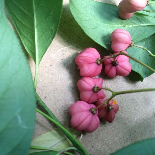 Euonymus europaeus has orange arils with pink capsules